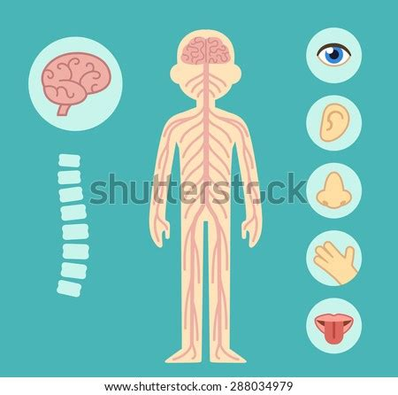 Nervous System Infographic Chart Elements Nerves Stock