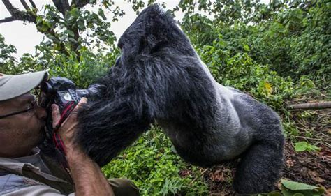 Dramatic moment 'intoxicated' gorilla lashes out at