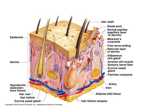 Chapter 6 - Skin and the Integumentary System - EHS
