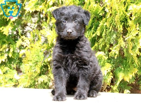 Mac | Poodle Mix Puppy For Sale | Keystone Puppies