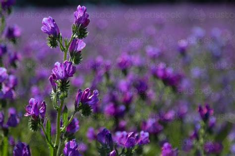 Image of Paddock of purple flowering patersons curse