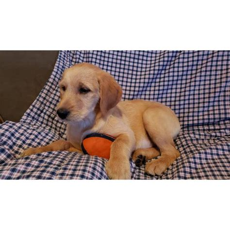 2 Males Apricot and Cream Labradoodles in Crystal Lake