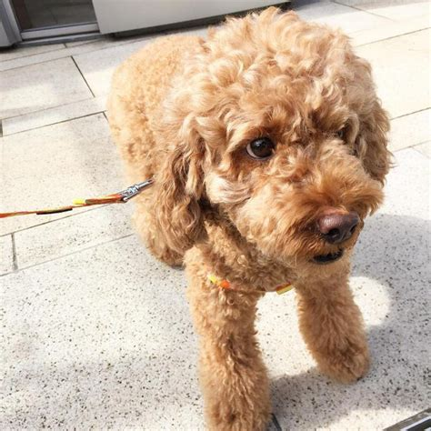 4 Month Old Labradoodle Puppies for sale Pennsylvania in