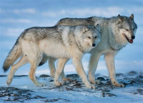 Observers expect Alberta to expand wolf kill despite