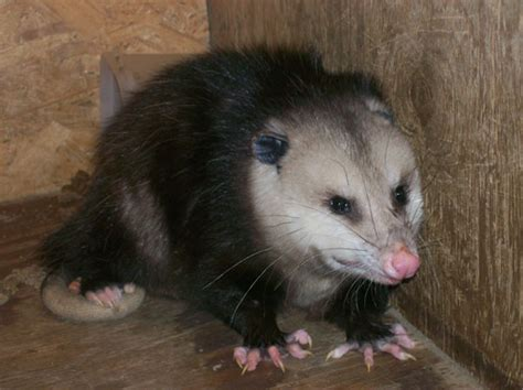 How to Get Rid of Possum Problems