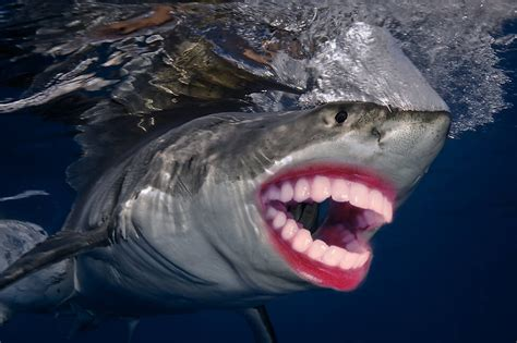 22 Sharks With Human Teeth Pictures That Are Just Ridiculous