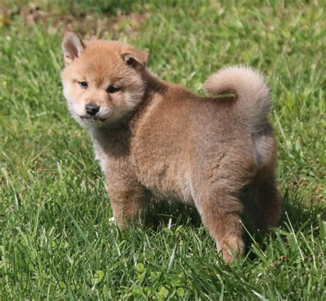Shiba Inu Puppies For Sale For Sale, Buy Shiba Inu Puppies
