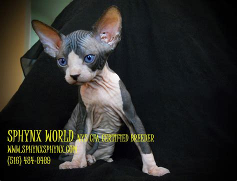 Sphynx Cats For Sale Sphynx World NYS CFA Certified Breede
