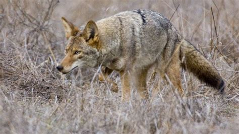 How To Keep Your Pets Safe From Coyotes
