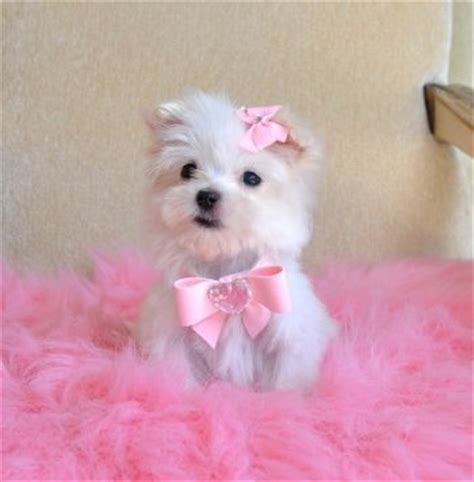 Tiny Teacup Maltese 16 oz at 9 weeks So Adorable She fits