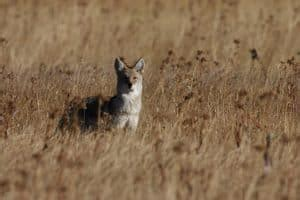 8 Brilliant Ways You Can Keep Coyotes Away Indefinitely