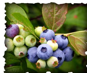 How to choose and grow the best Blueberries in South Florida